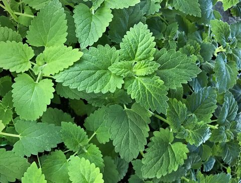 Herbal Medicine for Headache